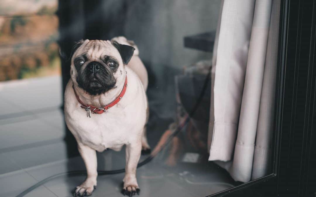 Image of a pug in a window.