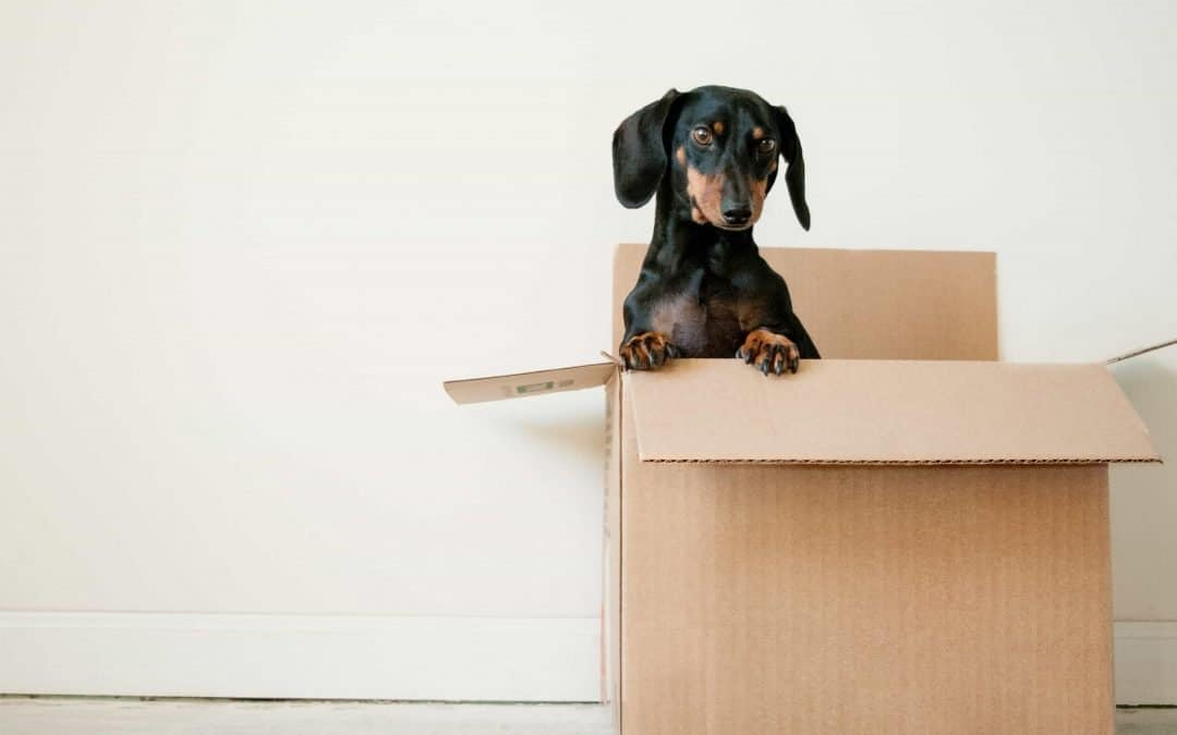 Puppy in a cardboard box.
