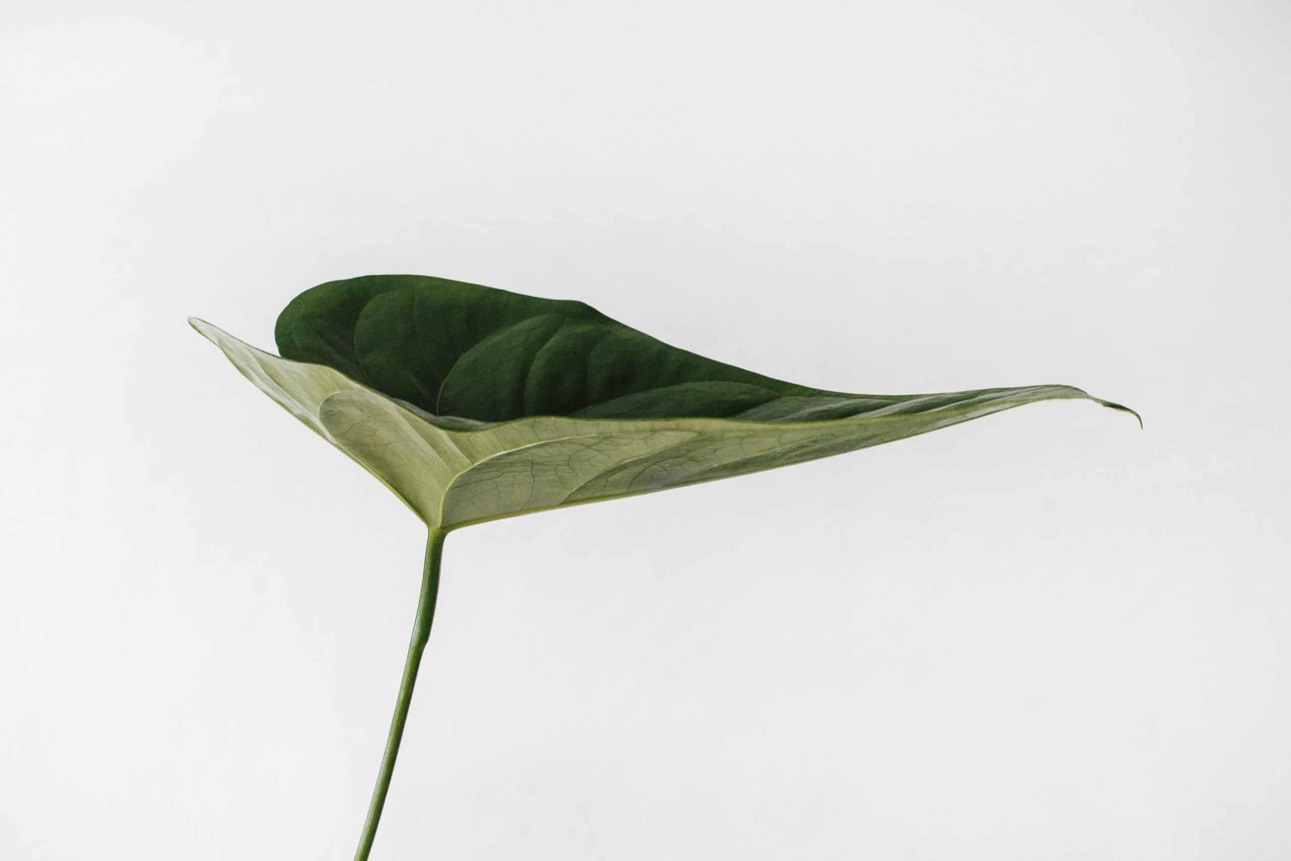 close image of a plant leaf.
